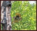 Title: Flicker Chick Fledges From  Nest!