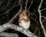 Title: Nutkin, the Red Squirrel