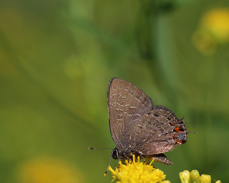 Striped Hairstreak (Satyrium liparops)