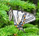 Title: Canadian Tiger Swallowtail