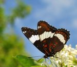 Title: World of the White Admiral