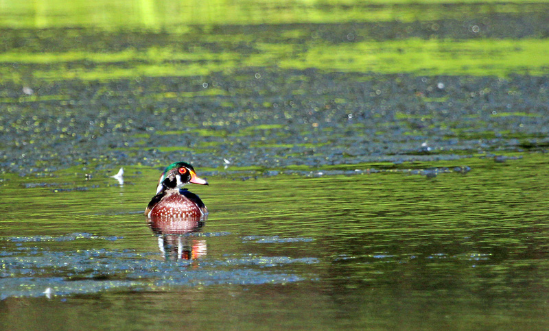 In a Wood Duck's World