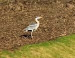 Title: Heron in the field