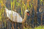 Title: The covered swan