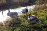 Title: Three young swans