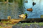 Title: Ducks on lake in our city