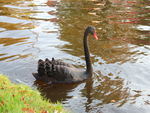 Title: Black Swan in the channel