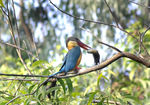 Title: Stork-billed Kingfisher