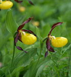Title: Cypripedium calceolus