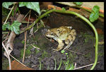Title: Another Common Frog