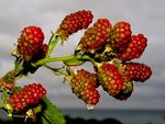 Title: redberry