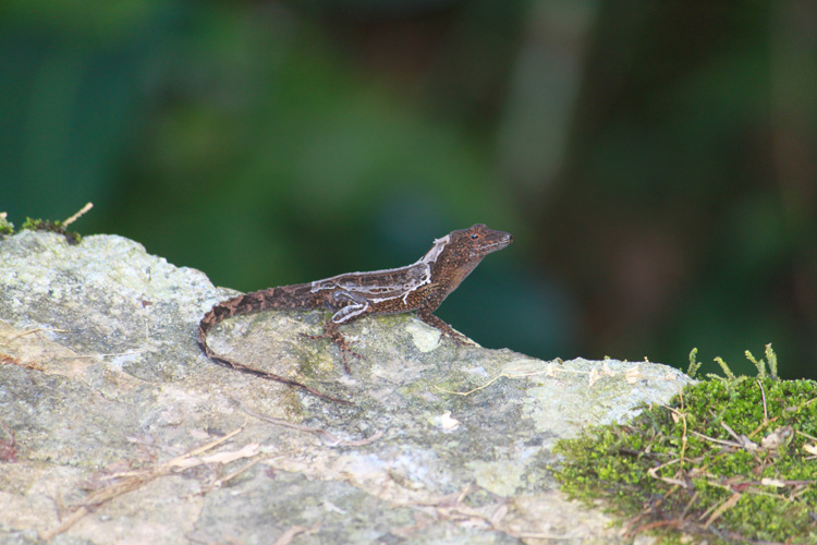 A Lizard in the Rain Forest