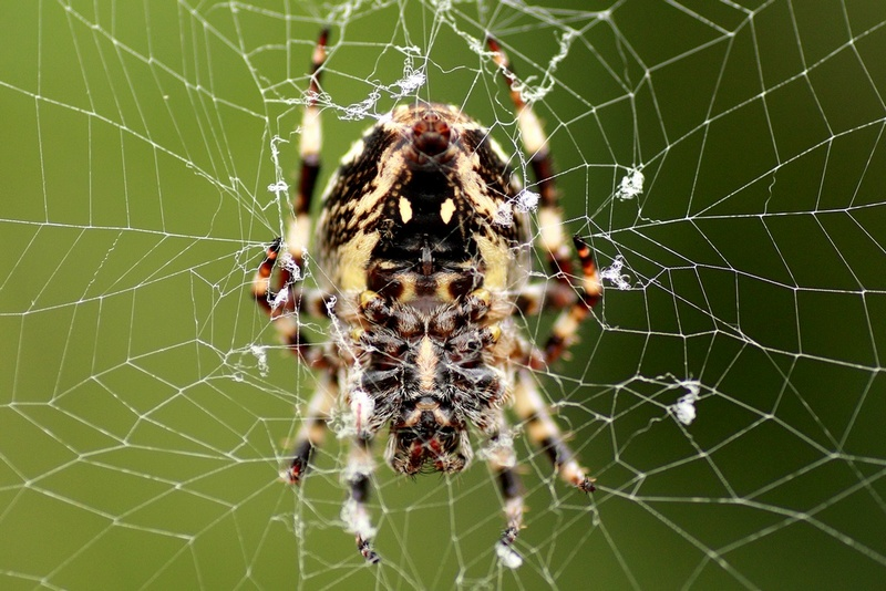 Face of Spider