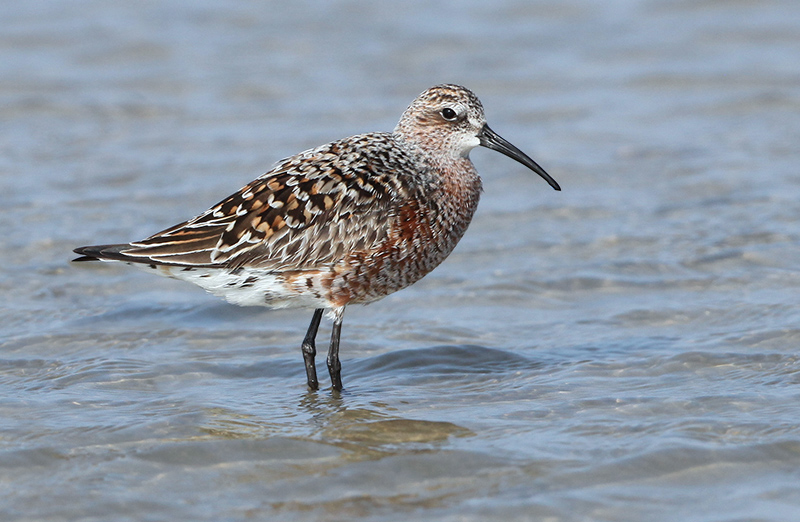 Calidris ferruginea 2