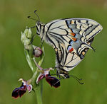 Title: Ophrys morio + Papilio machaon