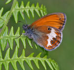 Title: Coenonympha arcania 2
