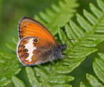 Title: Coenonympha arcania