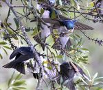 Title: Tree Swallow / Frenzy Feeding