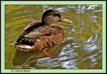 Title: Female common mallardKonica Minolta DiMAGE Z5