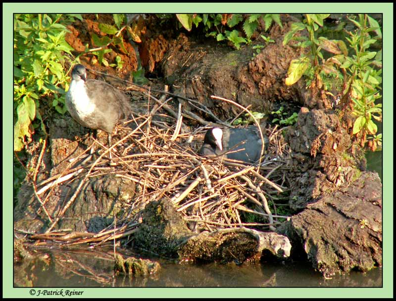 Coot in nest