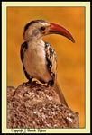 Title: Red-billed HornbillMinolta XD7