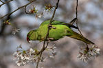 Title: Rose-ringed parakeetCANON 1Ds Mark III
