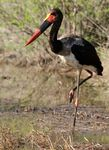 Title: Saddle-billed Stork