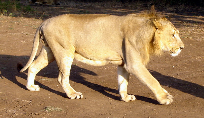 Lion Asiatic