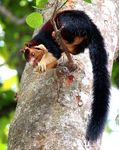 Title: Malabar giant squirrel.
