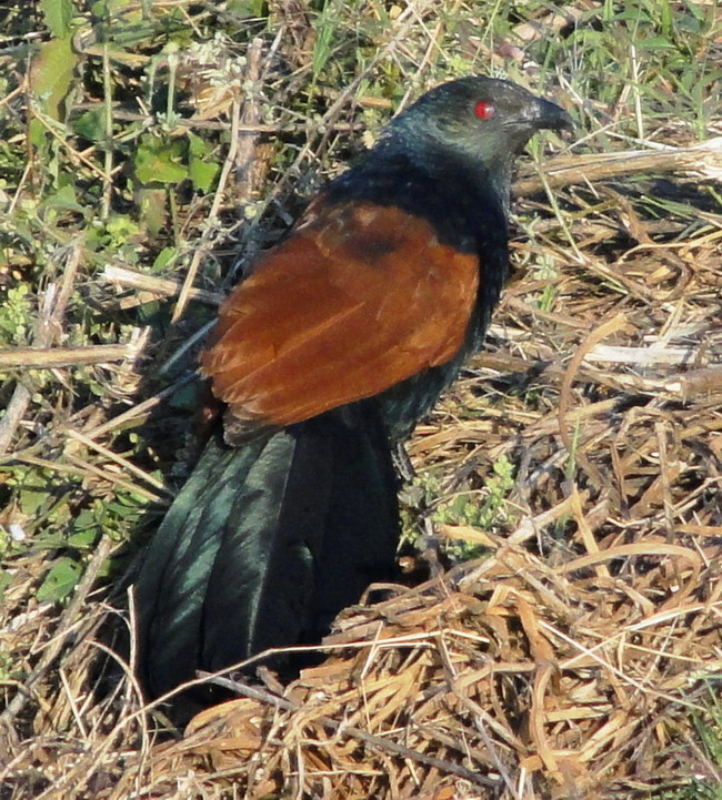 Crow Pheasant, or Greater Coucal