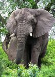 Title: African Elephant