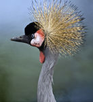Title: African Crowned Crane-140