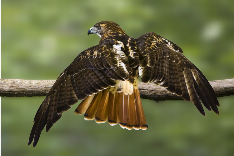 Red Tailed Hawk-244