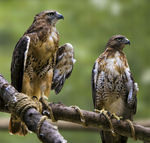 Title: Red Tailed Hawks