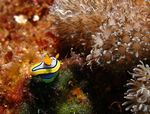 Title: Jewel of the Sea - Nudibranch