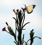 Title: Brown-veined White ?