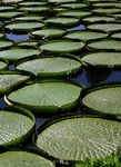 Title: Giant Water Lilies