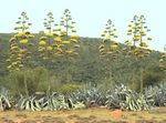 Title: Agave in Full Bloom