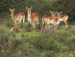 Title: Red Lechwe (Kobus l. leche)