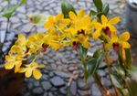 Title: Indonesia Orchid