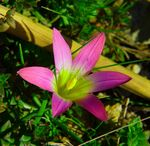 Title: Zephyranthes Rosea