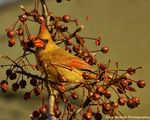 Title: Northern Female Cardinal