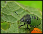 Title: Green stinkyfly