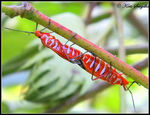 Title: Mating of Cotton Stainer