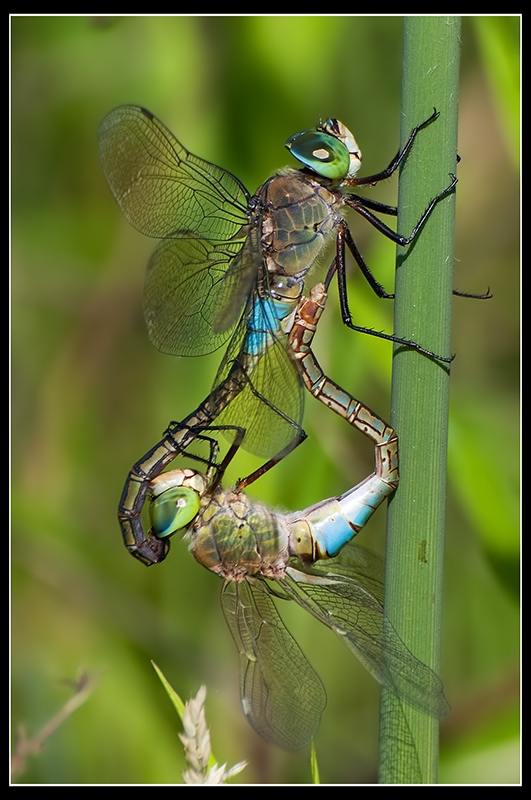 Anax parthenope (in Love)
