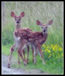 Title: twin fawns