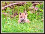 Title: Little red fox