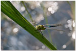 Title: ... anax imperator ...