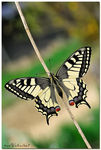 Title: ... papilio machaon ...