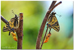 Title: ... papilio machaon, new born ...
